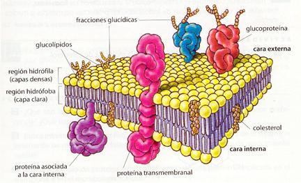 Membrana Celular Lessons Tes Teach